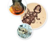 Mehrere Abbildungen von Parasiten unter dem Mikroskop