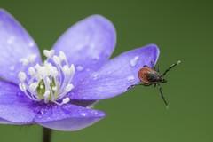 Offene lila Blume mit Zecke