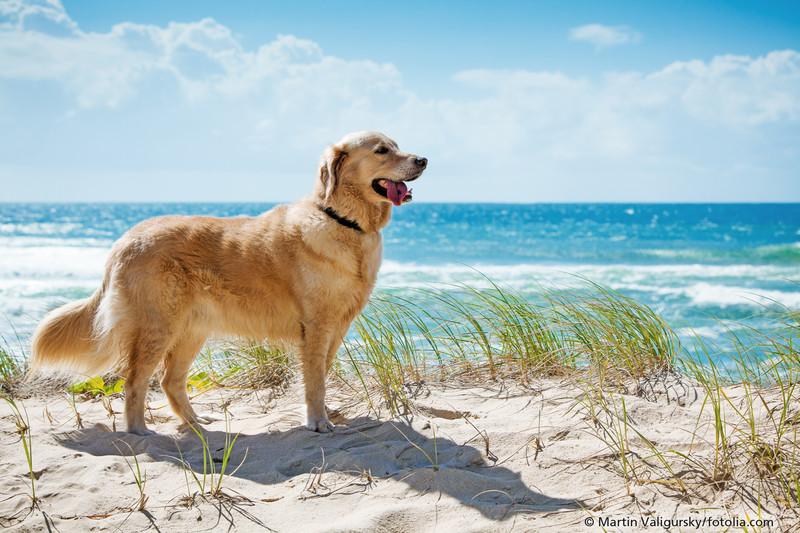 Hund steht auf Dünen. Im Hintergrund ist Meer und Sonne scheint