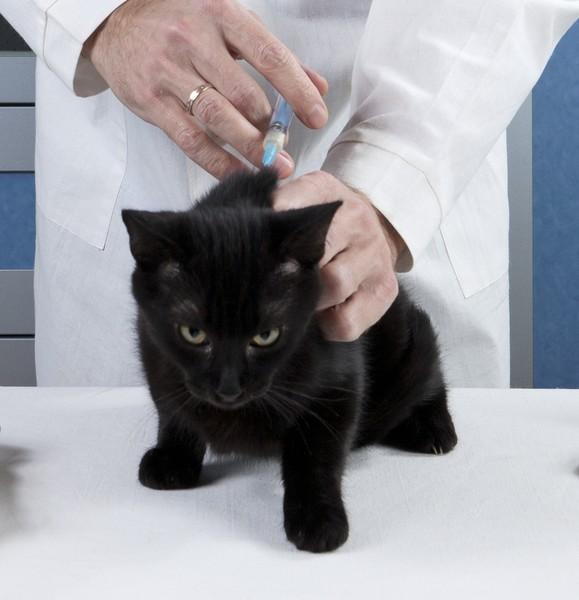 Schwarze Katze bekommt Spritze von TierärztInnen