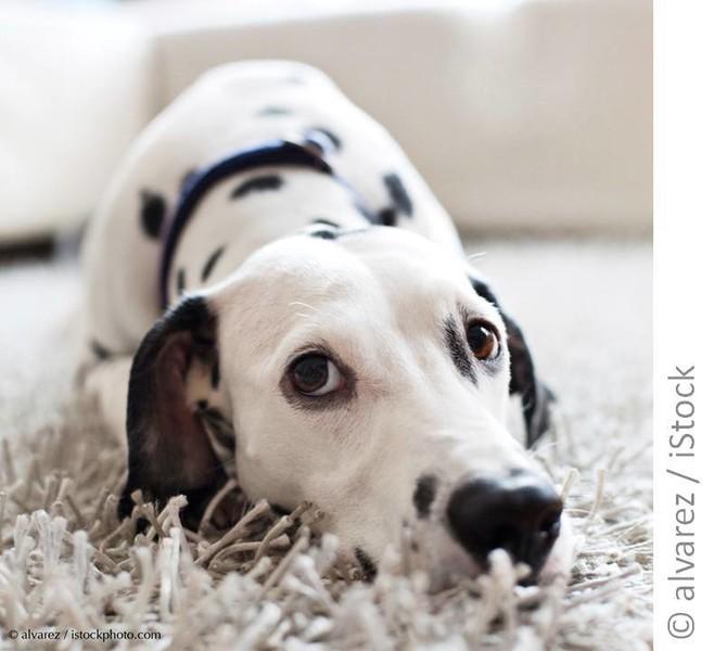Weißer Hund mit schwarzen Flecken liegt auf einem weißen Teppich und schaut in die Kamera