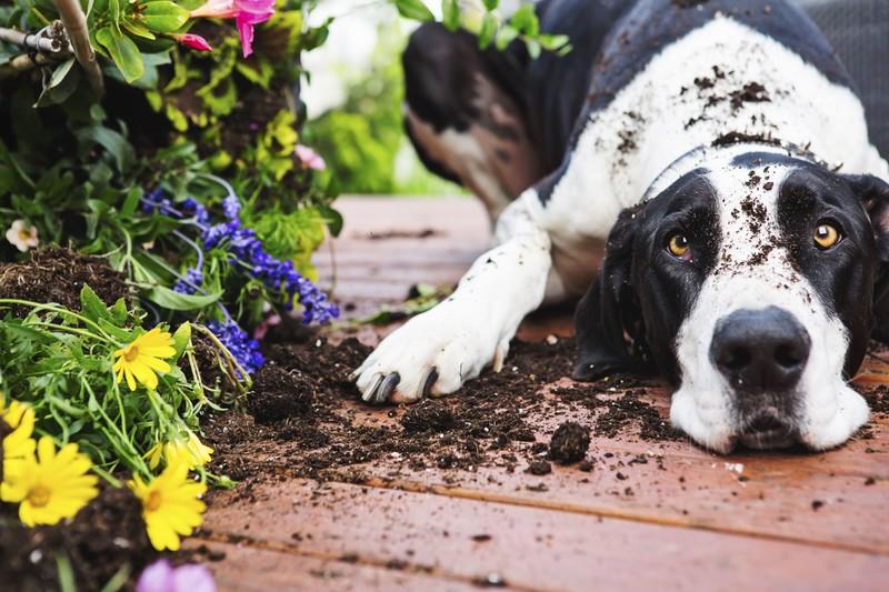 Großer schwarz-weißer Hund liegt im Garten neben Blumen und ist voller Erde