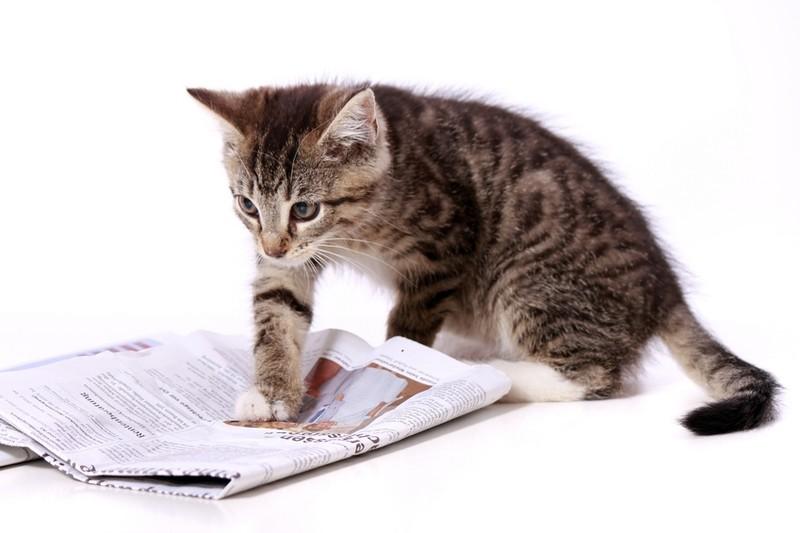 Braune Katze erkundet Zeitungspapier mit Pfoten. Weißer Hintergrund