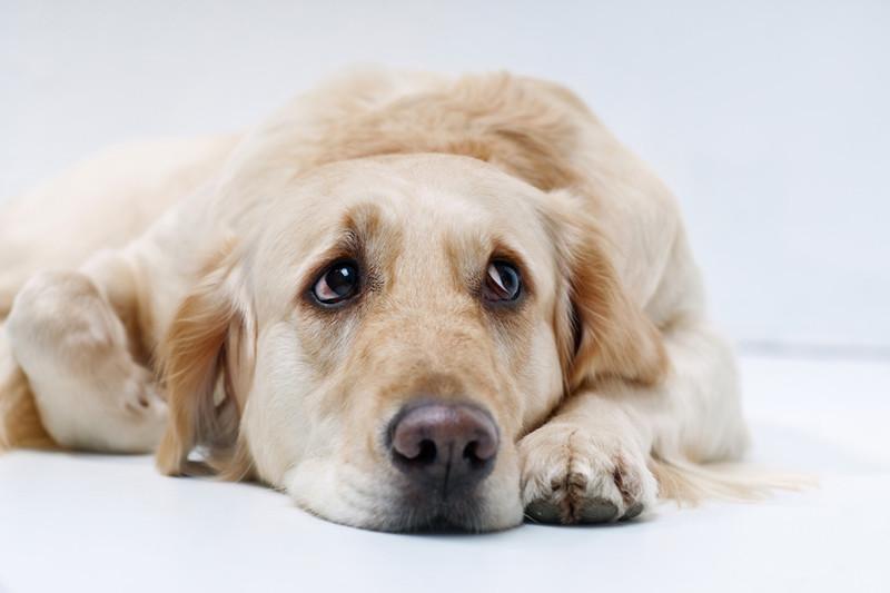Labrador liegt auf seinen Pfoten und schaut traurig nach oben. Weißer Hintergrund