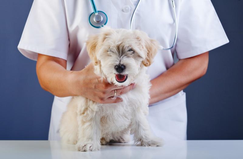 Tieräztin/Tierarzt hält kleinen weißen Hund auf Untersuchungstisch