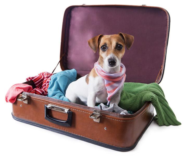 Kleiner braun-weißer Hund sitzt im offenen Koffer. Weißer Hintergrund