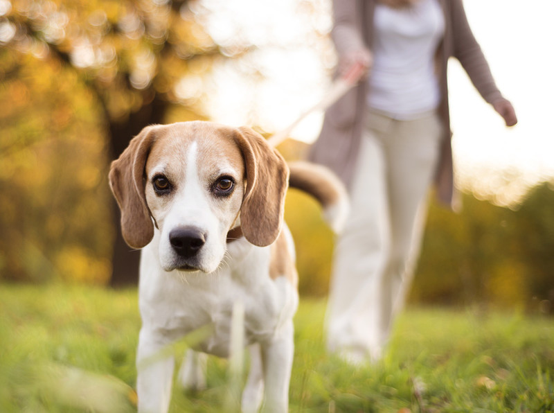 Hund zieht Besitzerin an Leine zur Kamera. Draußen im Sommer