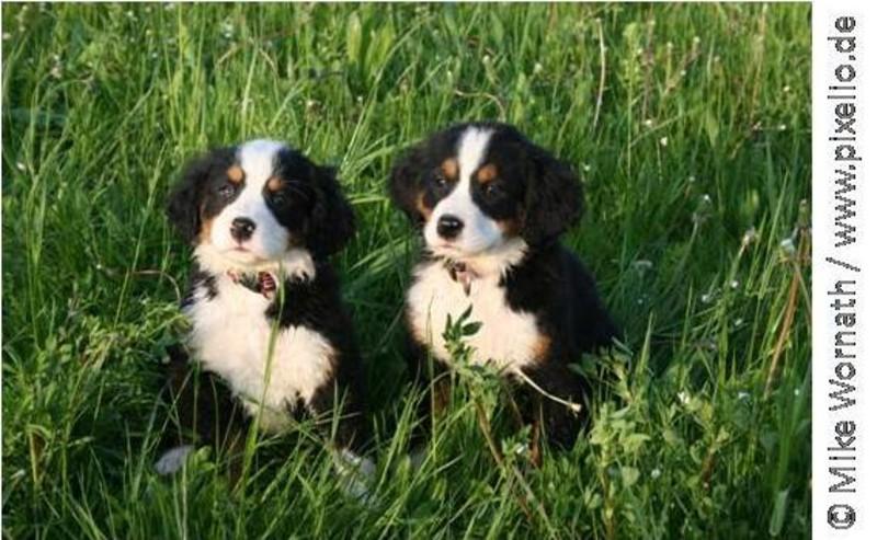 Zwei schwarz-weiße Welpen sitzen im Gras. Sommer