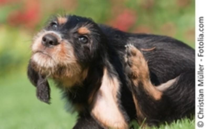 Kleiner schwarz-brauner Hund kratzt sich am Ohr. Draußen im Sommer