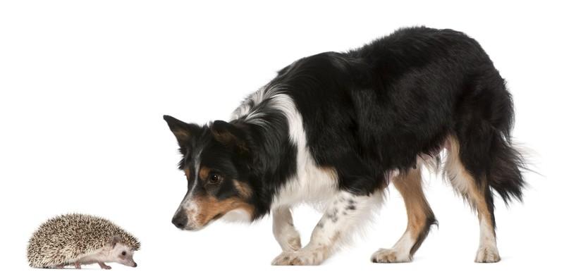Hund beschnuppert Igel. Weißer Hintergrund