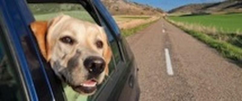 Heller Hund schaut aus dem Fenster eines fahrenden Autos. Leere Straße in den Bergen
