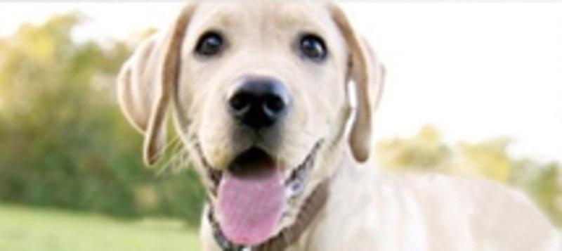 Heller Hund schaut mit heraushängender Zunge in die Kamera. Sommer.