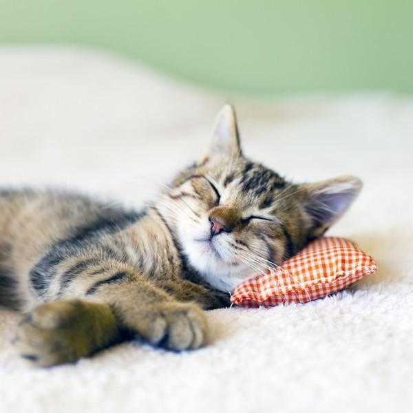 Braune Katze liegt mit ihrem Kopf auf einem kleinen rot-weißen Kissen