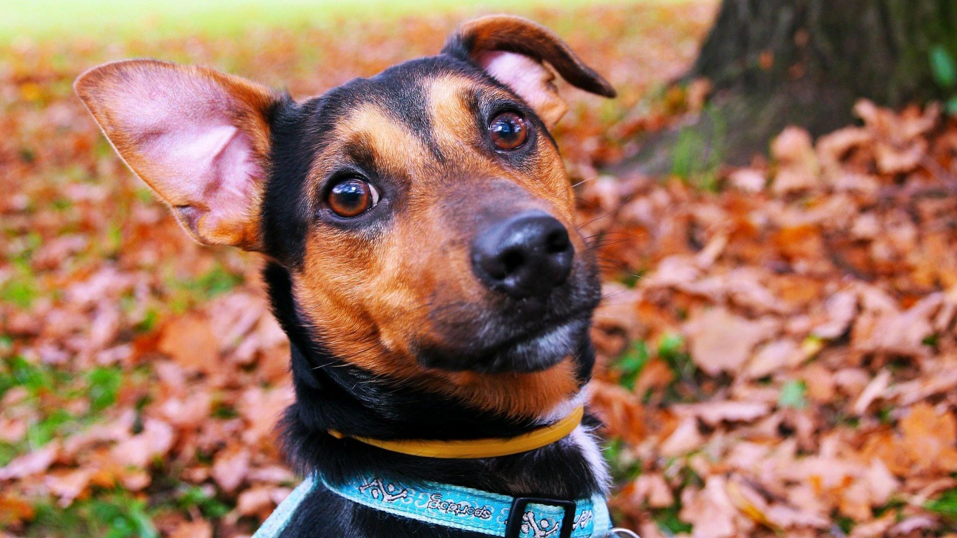 Hund mit einem aufgestellten Ohr draußen im Herbst