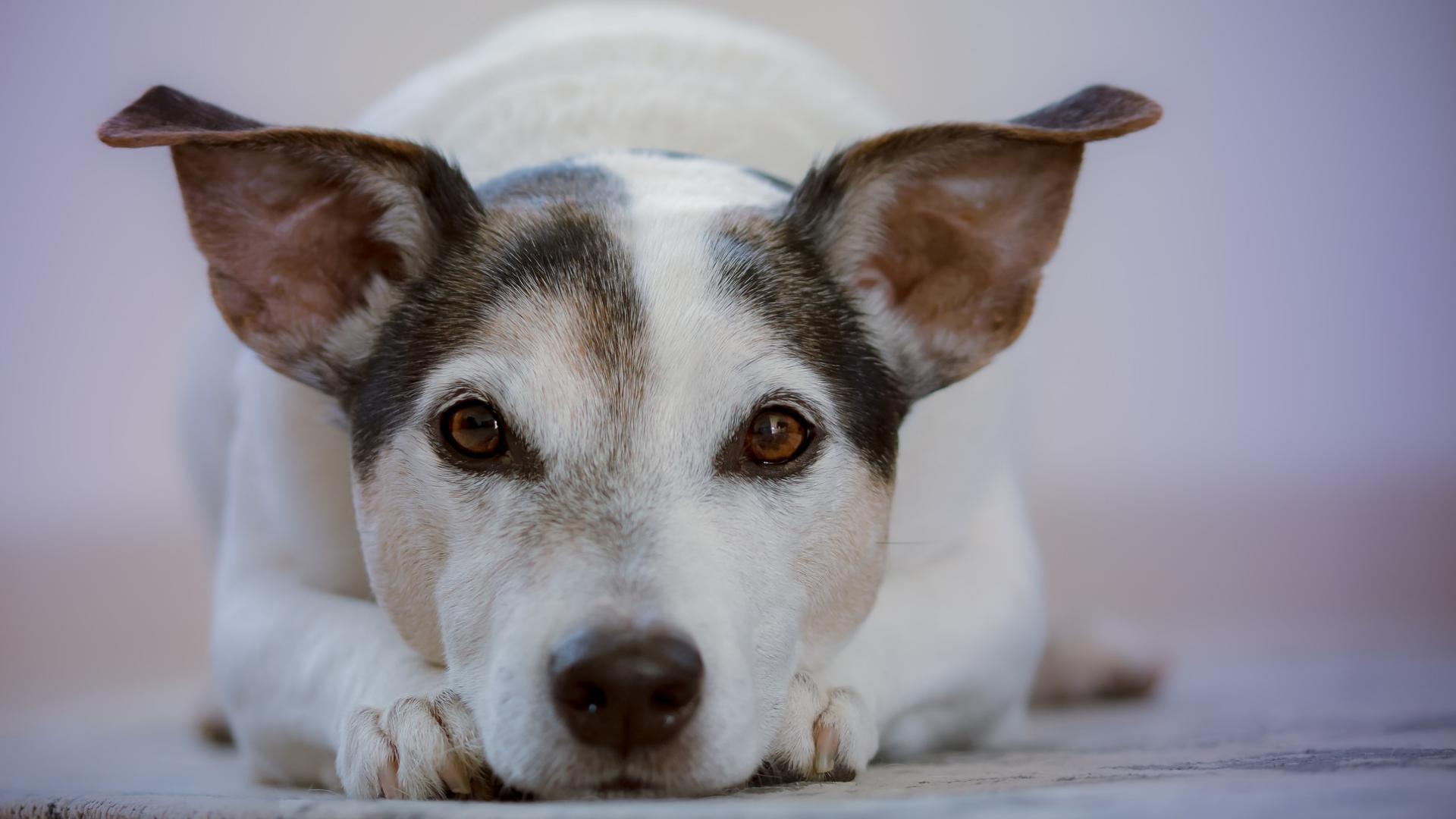 Hund schwarz weiß liegt mit Kopf auf seinen Pfoten