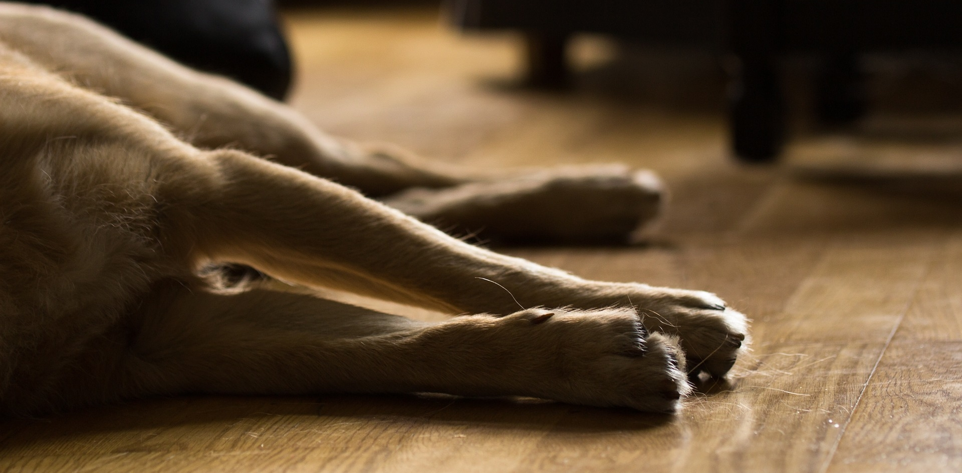 Pfoten eines liegenden Hundes auf Holzboden
