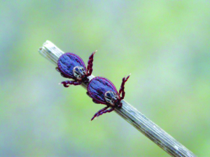 Buntzecke Dermacentor reticulatus