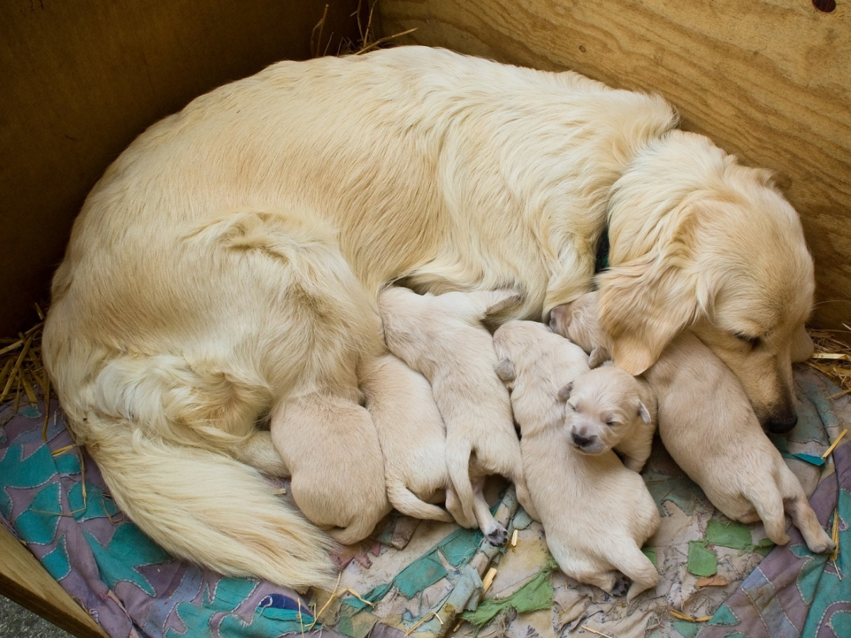Labrador Mutter füttert sechs kleine Welpen